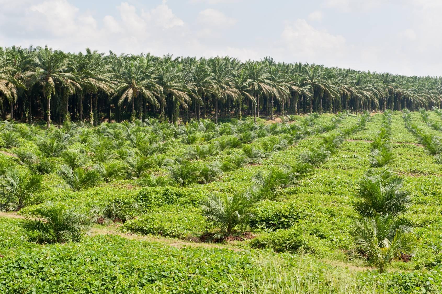 Plantacja oleju palmowego w środku azjatyckiej dżungli.