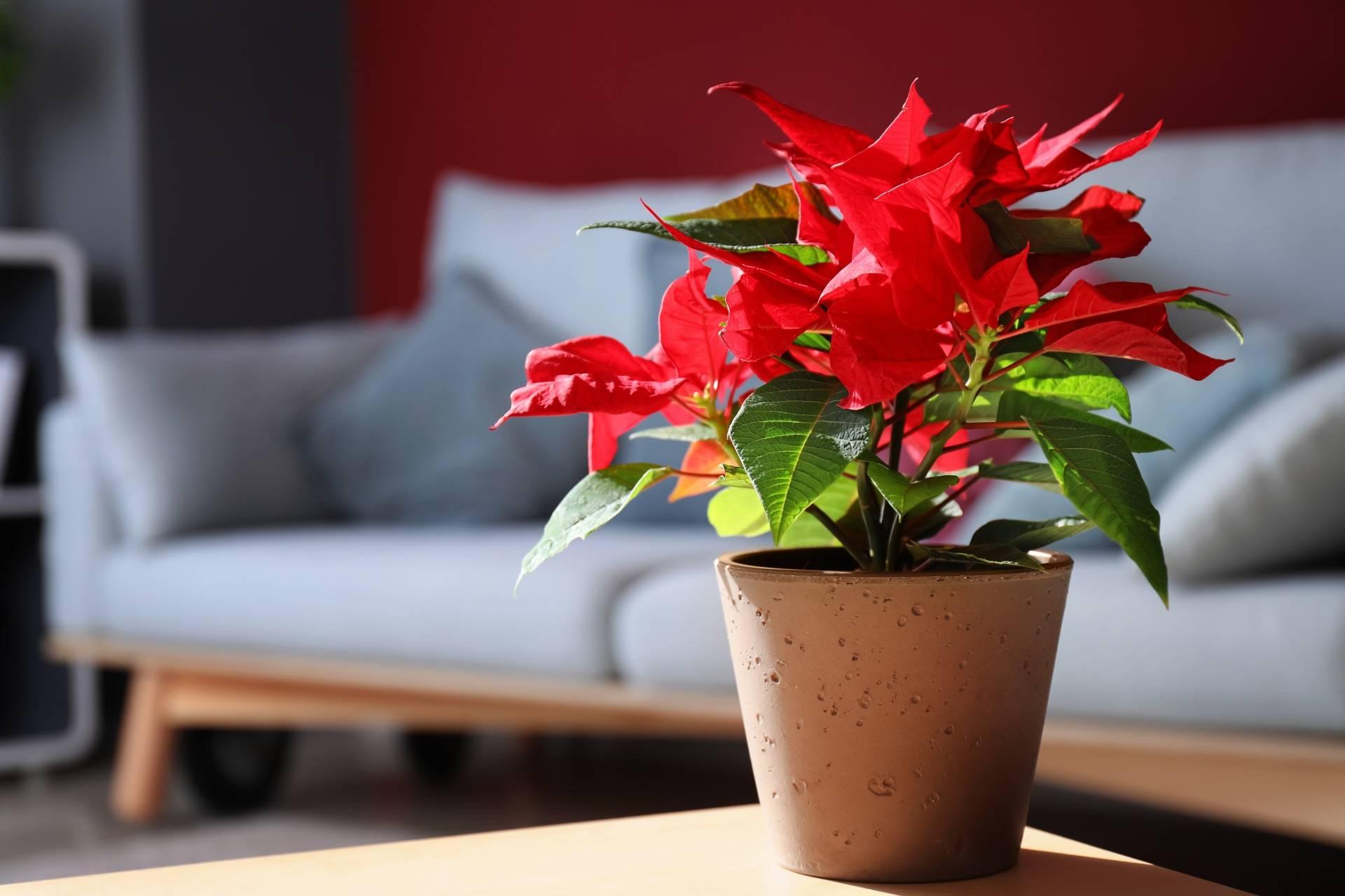 Gwiazda betlejemska na stole w salonie, w tle stoi szara kanapa. Jak dbać o gwiazdę betlejemską? Jak wygląda gwiazda betlejemska, czyli poinsecja?