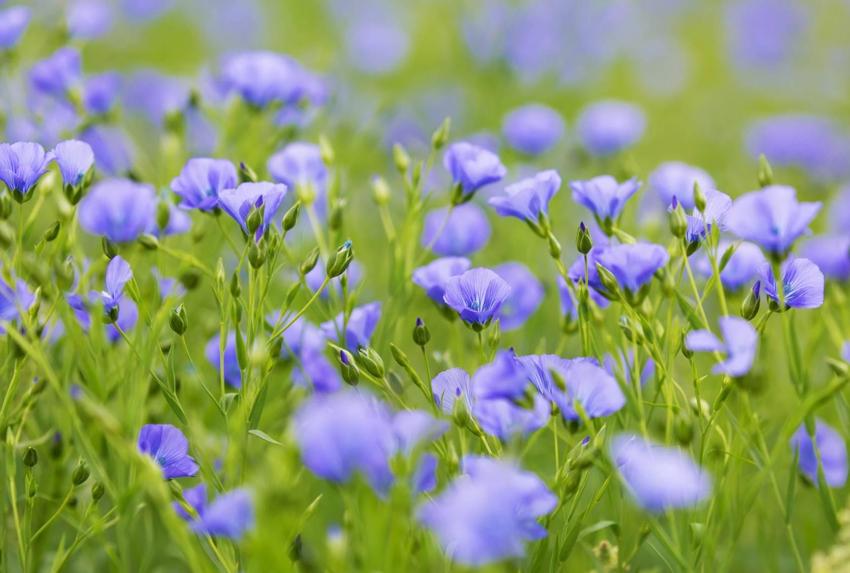 Pole kwiatów lnu.