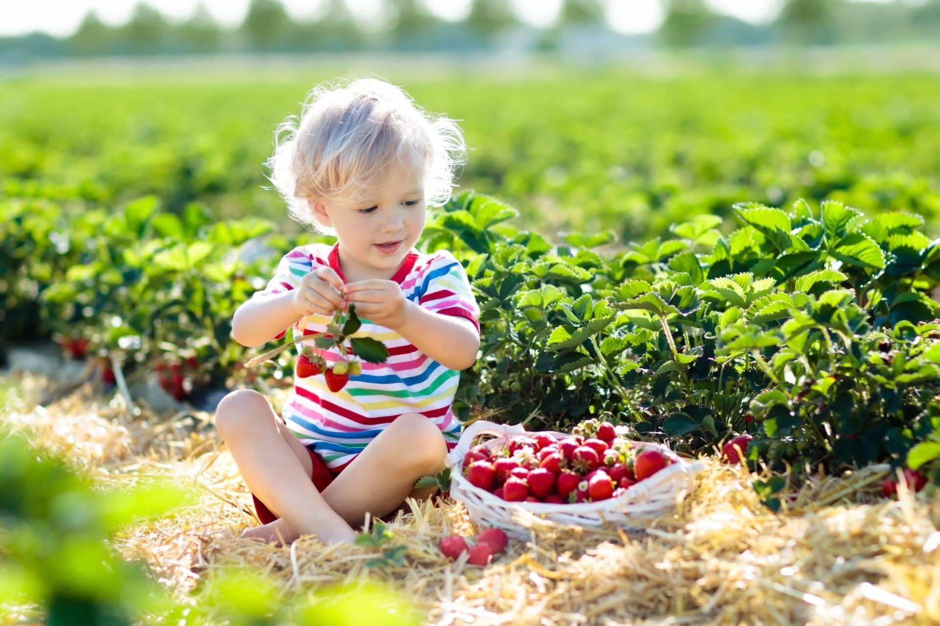 Apteczka podróżnika. Mały chłopiec zbiera truskawki na polu truskawkowym..
