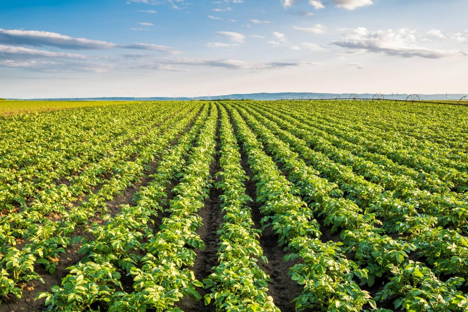 Na czym polega dieta wegetariańska? Pole sałaty na bezkresnym horyzoncie.