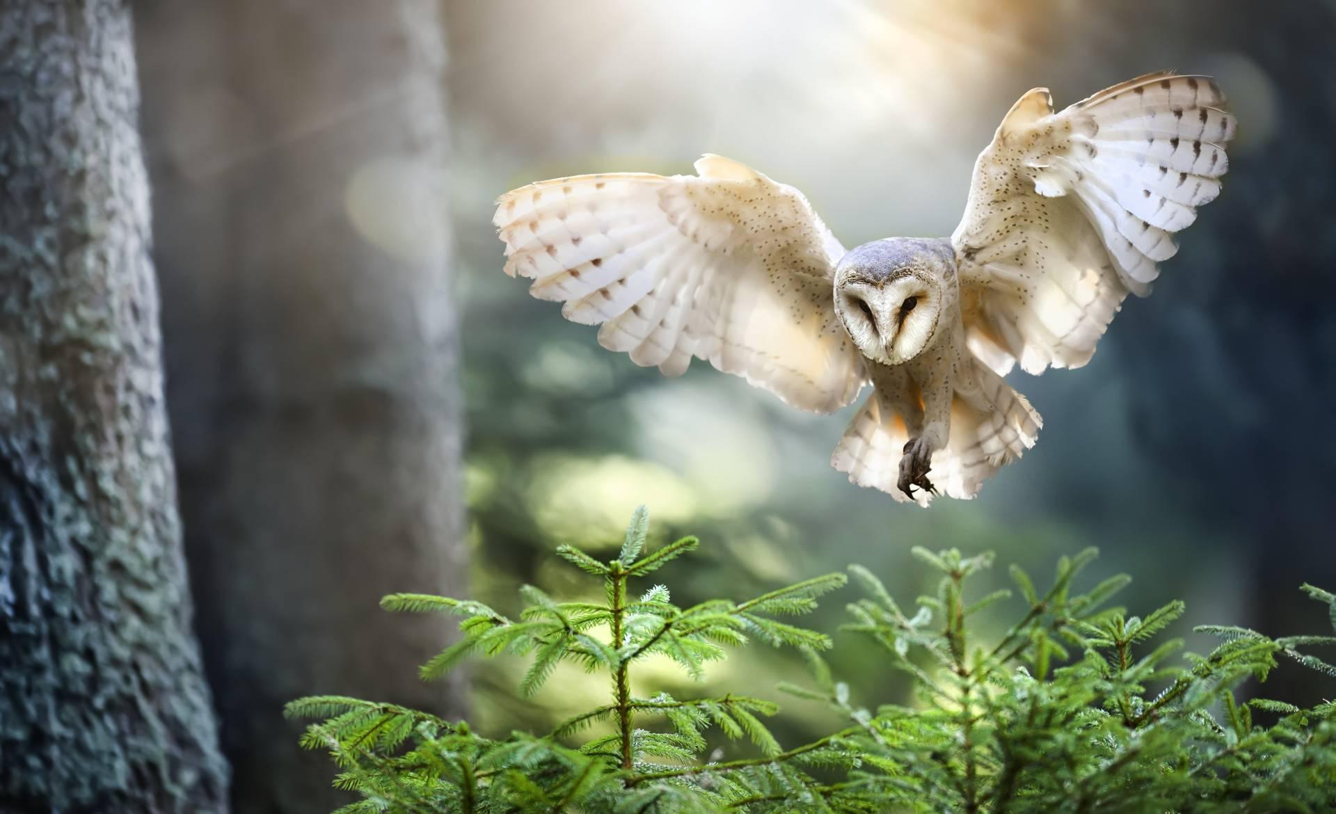 Polująca sowa w lesie z rozpostartymi skrzydłami.