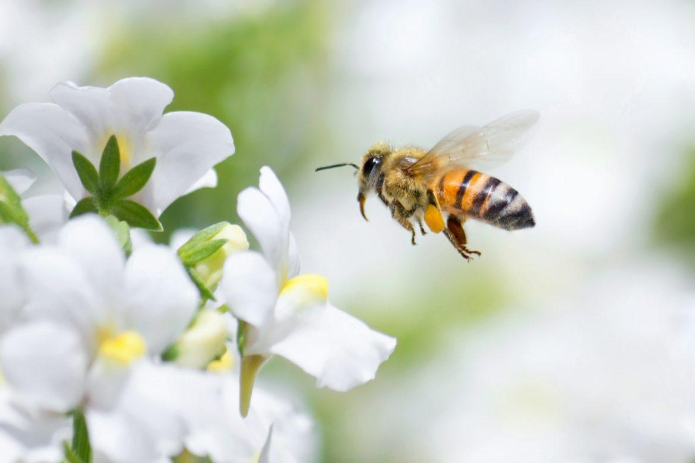 Pszczoła miodna - ratuj pszczoły przed pestycydami. Sprawdź, jak pomóc pszczołom!