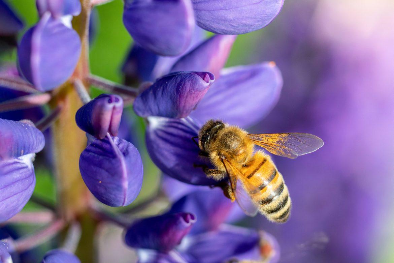 Pszczoła miodna przysiadła na niebieskim kwiatku i zbiera nektar. Rośliny miododajne dla owadów zapylających.