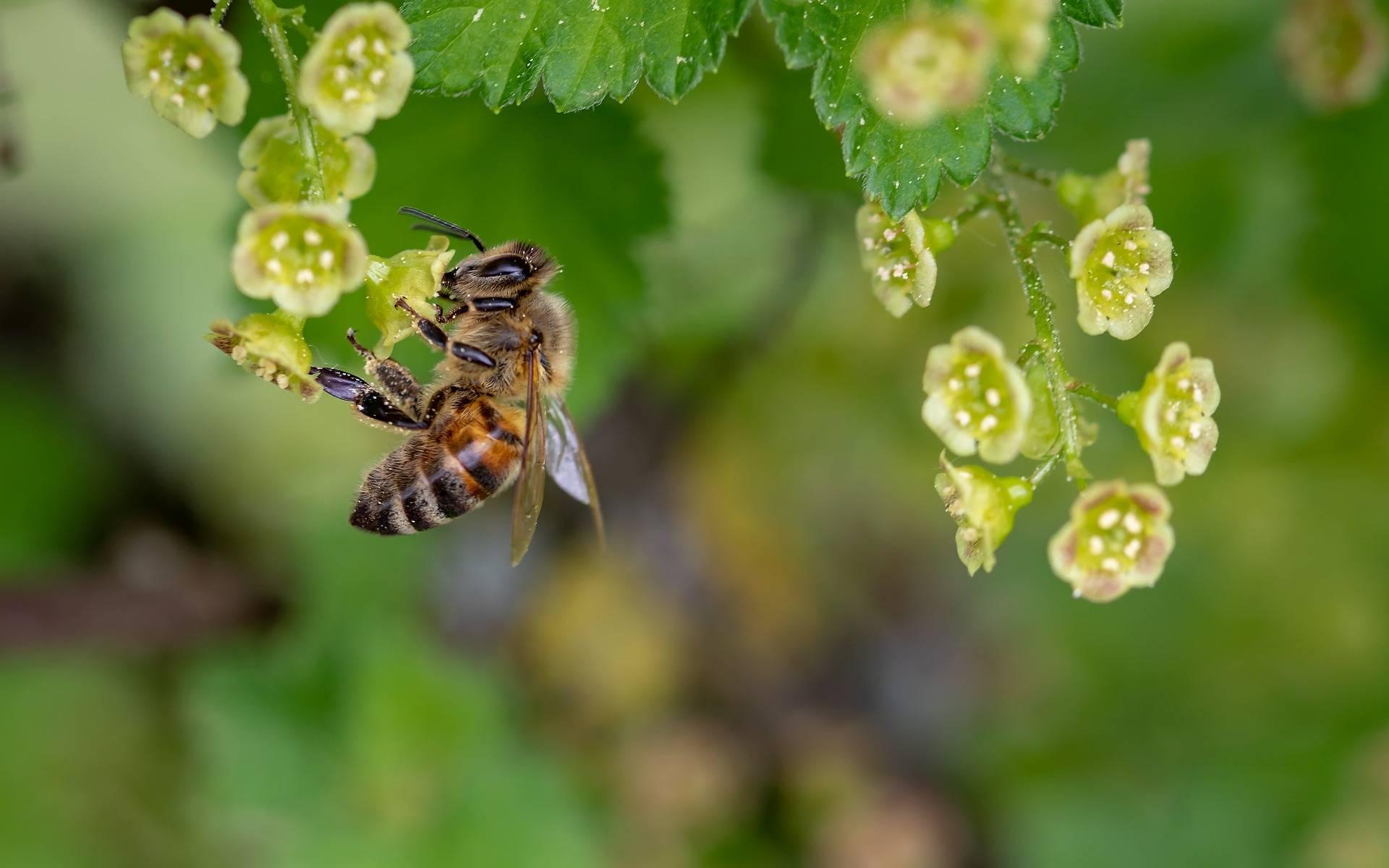 Lek homeopatyczny z żądła pszczoły - apis mellifica.