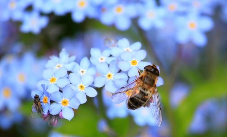 Apis mellifica - lek homeopatyczny.