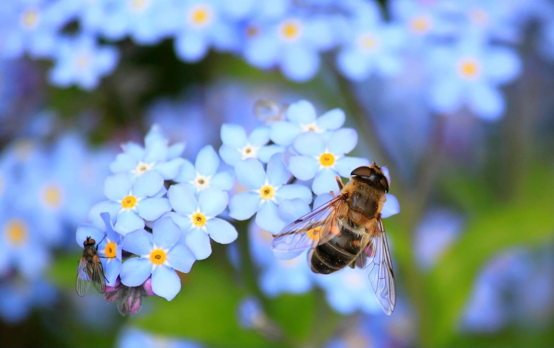 Apis mellifica - lek homeopatyczny na obrzęk i stan zapalny. Pszczoła siedzi na błękitnym kwiatku i spija nektar.