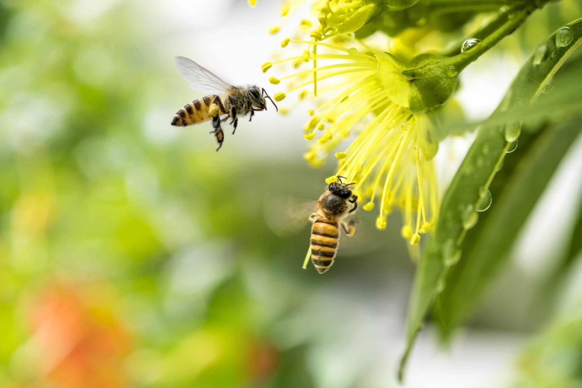 Rośliny miododajne - dwie pszczoły zbierają nektar z żółtego kwiatka.