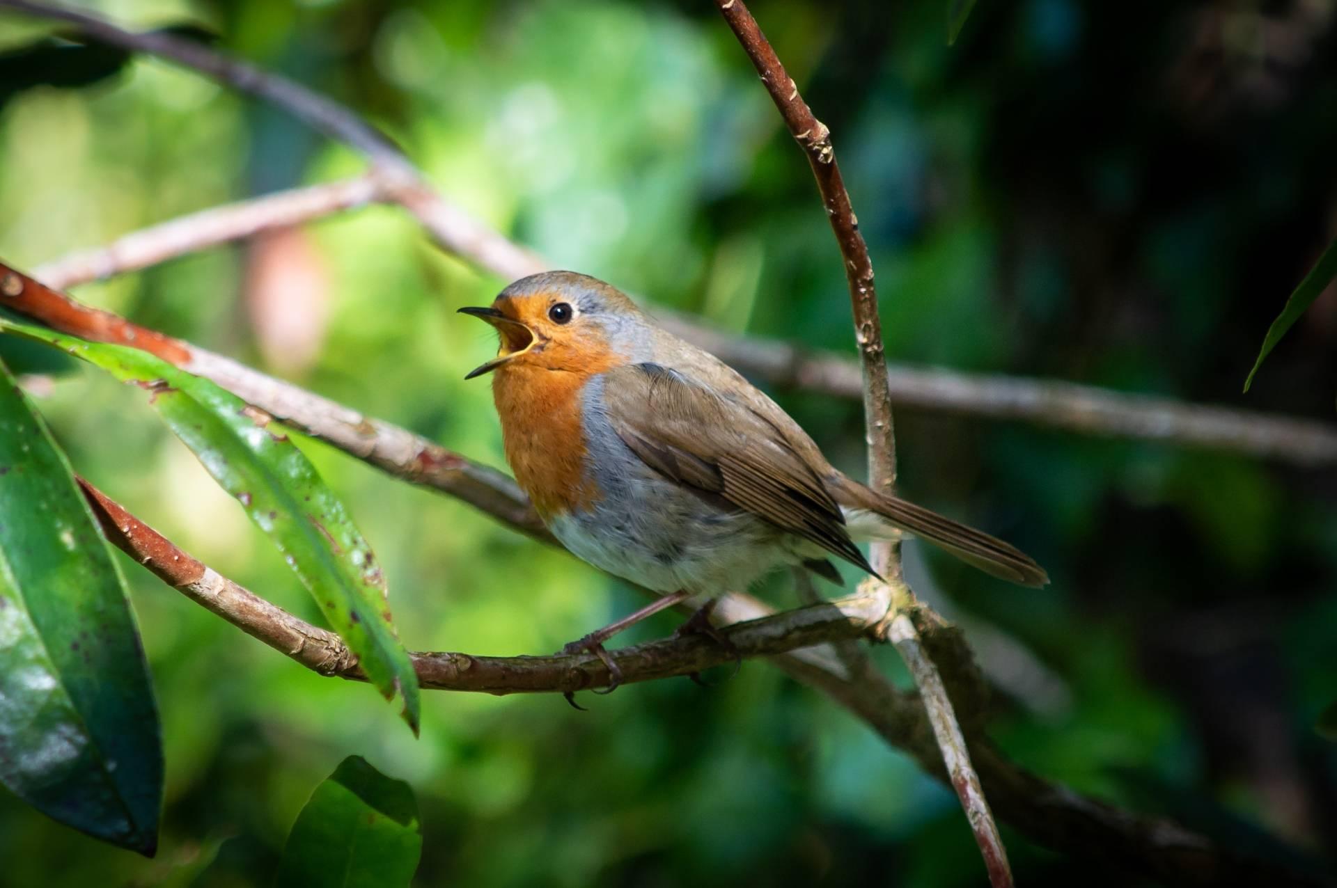 Rudzik śpiewa na gałęzi w lesie. Ptasie radio - o czym śpiewają ptaki?