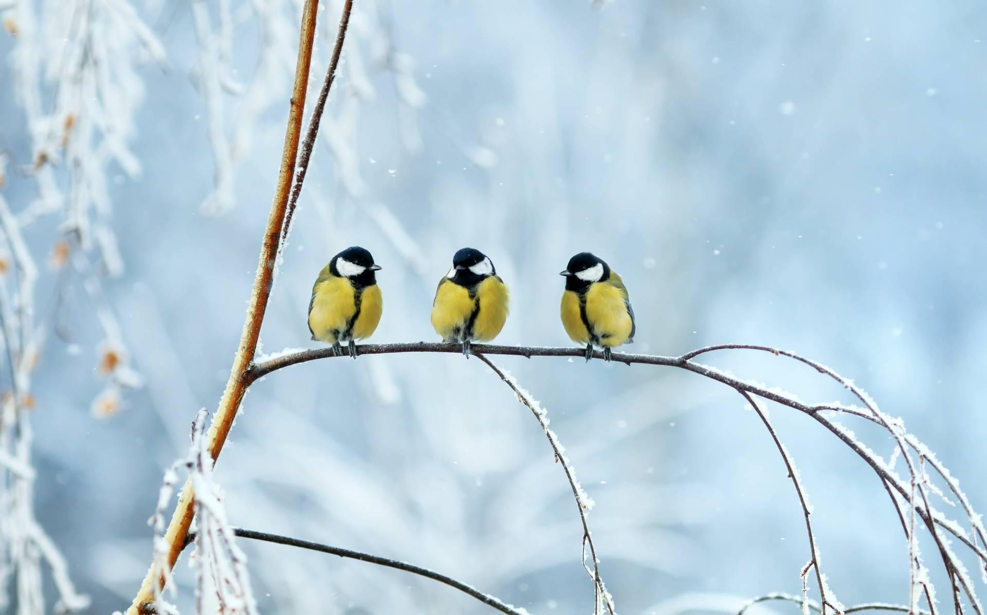 Jak pomóc zwierzętom przetrwać zimą? Jak dokarmiać ptaki zimą? Co jedzą ptaki? Trzy sikorki na gałęzi.