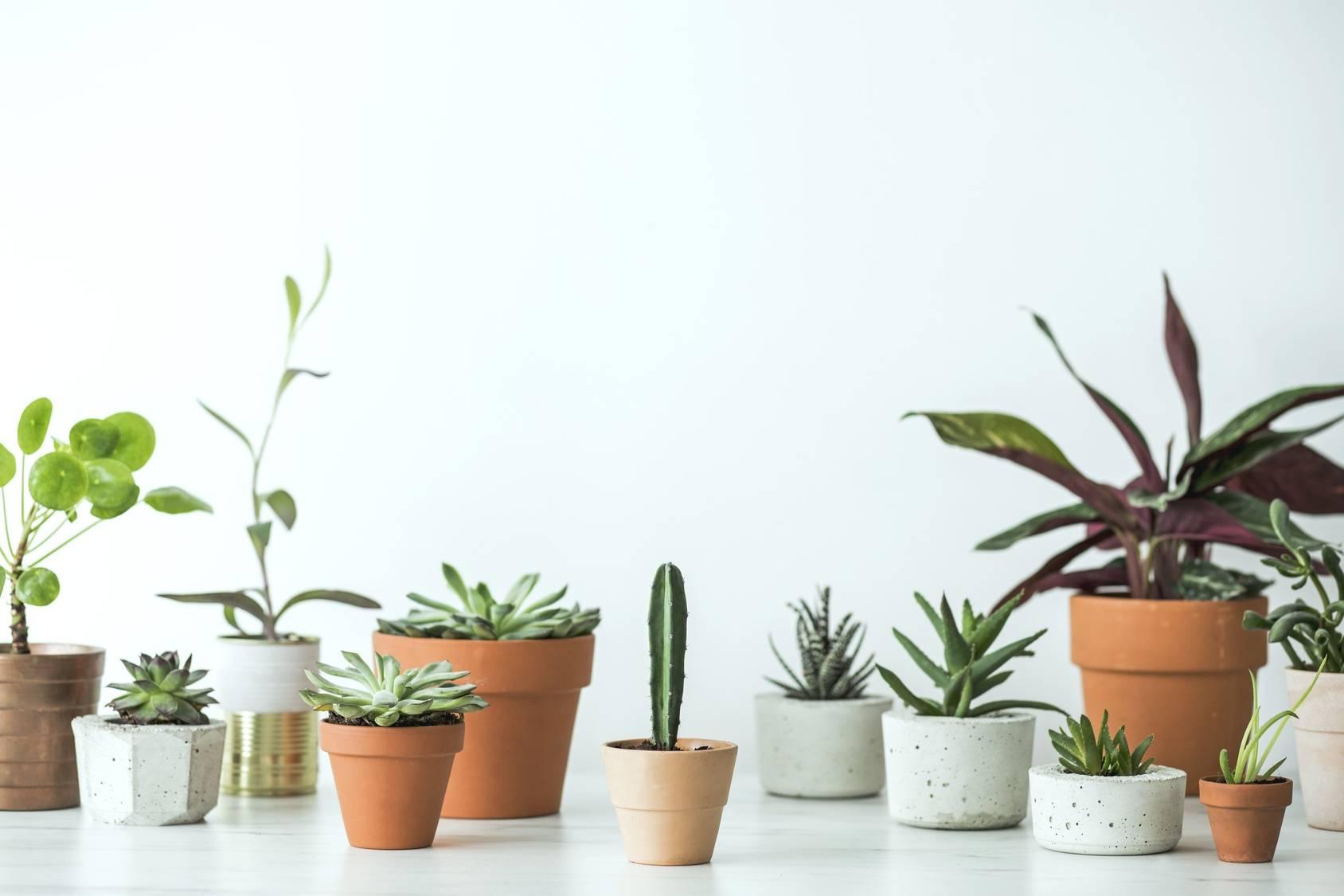 Czy wiesz, że popularne domowe rośliny doniczkowe mogą być trujące dla dzieci i zwierząt? Sprawdź które! Na białym blacie stoją różnego rodzaju doniczki - gliniane, ceramiczne - z kwiatami domowymi: kaktusami, sukulentami, roślinami zielonymi.