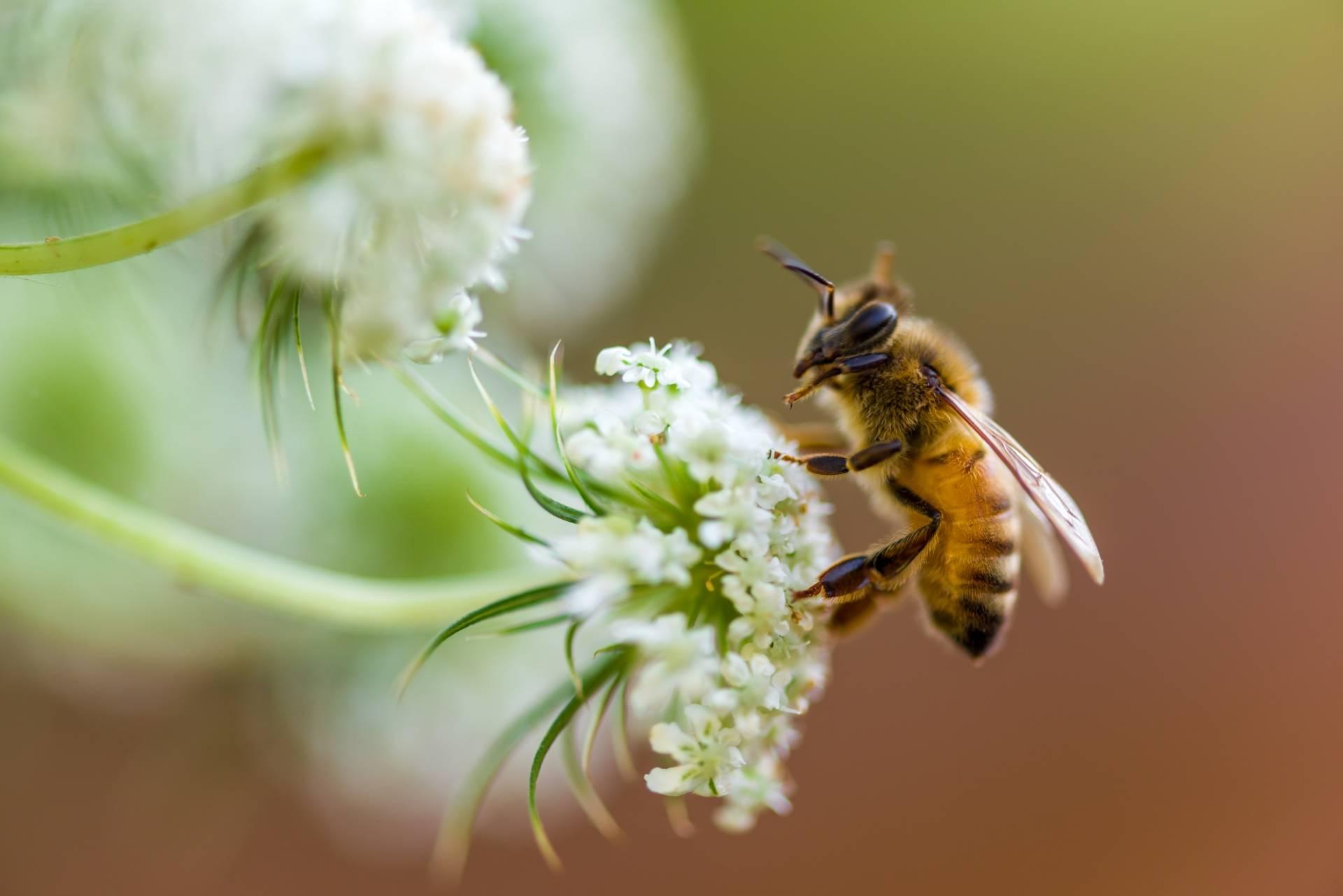 Rośliny miododajne - jakie posadzić w ogródku? Pszczoła zbiera nektar z białego kwiatka.