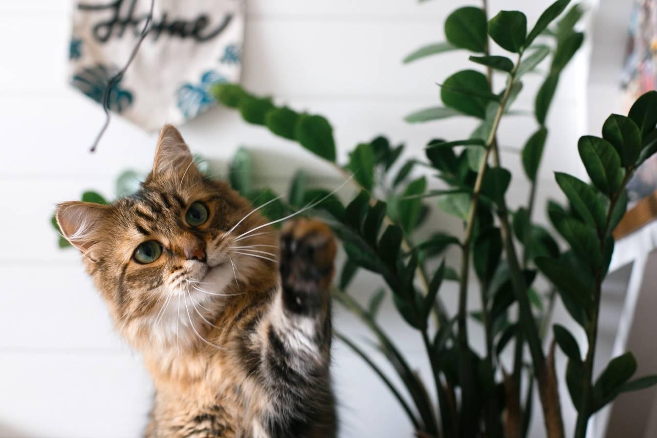 Rośliny trujące dla kota. Jakie rośliny są bezpieczne dla kota? Podpowiada ogrodnik Wojtek Wardecki. Kot rasy Maine coon bawi się liśćmi zamiokulkasa.