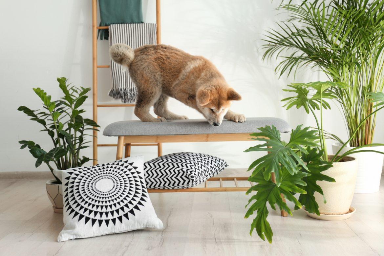 Rośliny niebezpieczne dla zwierząt. Pies rasy Akita Inu próbuje zeskoczyć z ławki do siedzenia w salonie w domu, otoczonej przez rośliny doniczkowe.