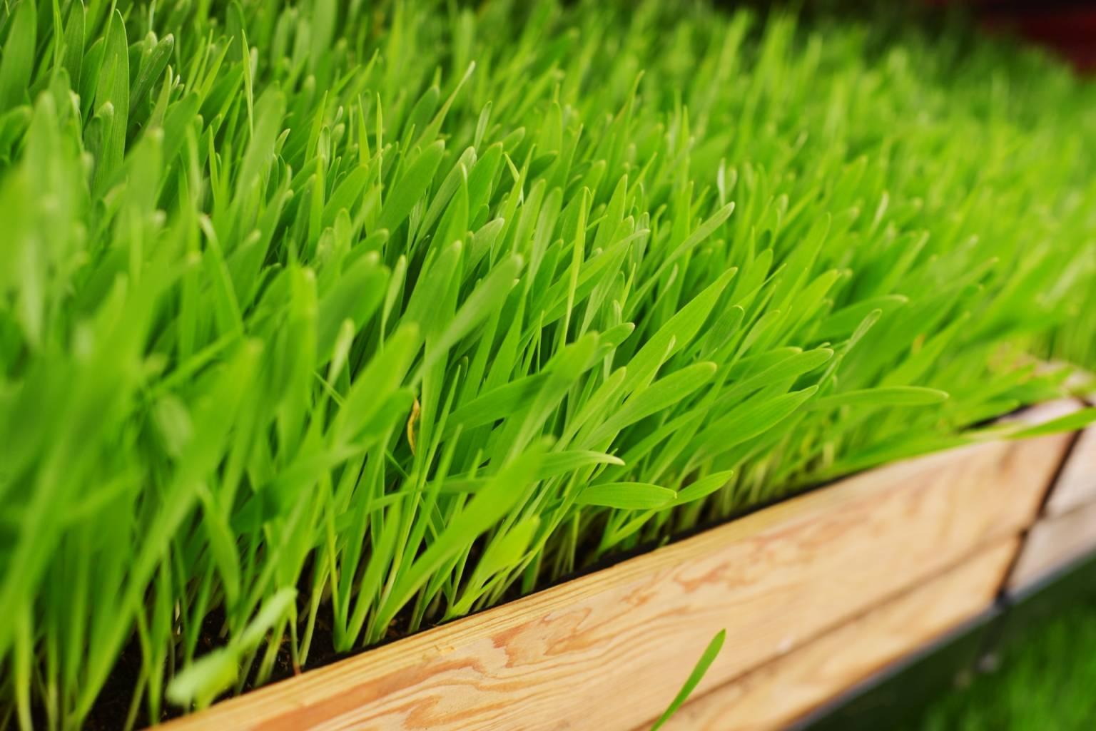 zielony jęczmień na odchudzanie efekty