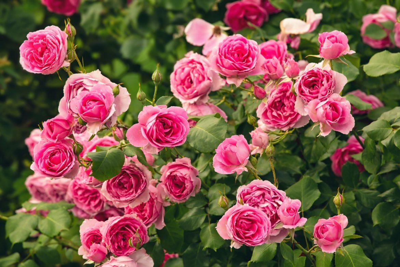Jak pielęgnować róże w ogrodzie? Piękne różowe kwiaty róż rosną latem na krzaku w ogródku.