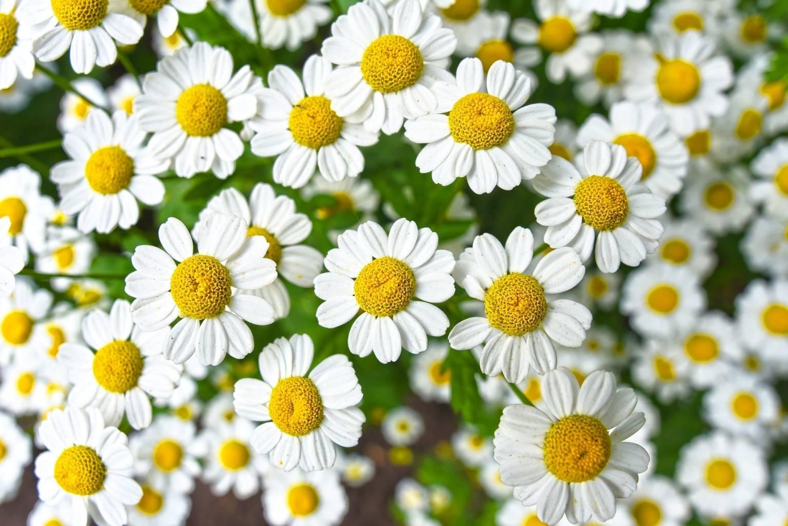 Co warto wiedzieć o rumianku pospolitym? Jakie ma właściwości lecznicze i jak go stosować? Zbliżenie na kwiaty rumianku.