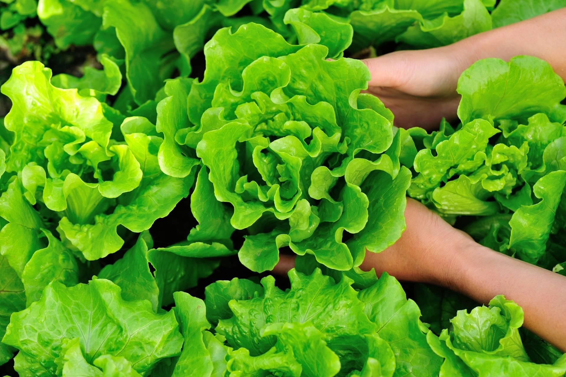 Ogródek warzywny na balkonie: jak siać sałatę?