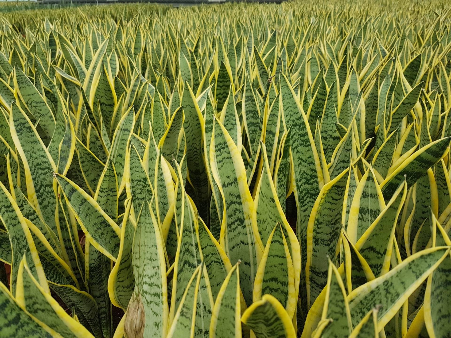 Sansewieria, zwana wężownicą, hodowana w szklarni.