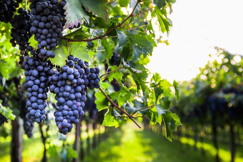 Siarczyny, siarczany, siarka – czym się różnią? Czerwone winogrona na krzakach w winnicy.