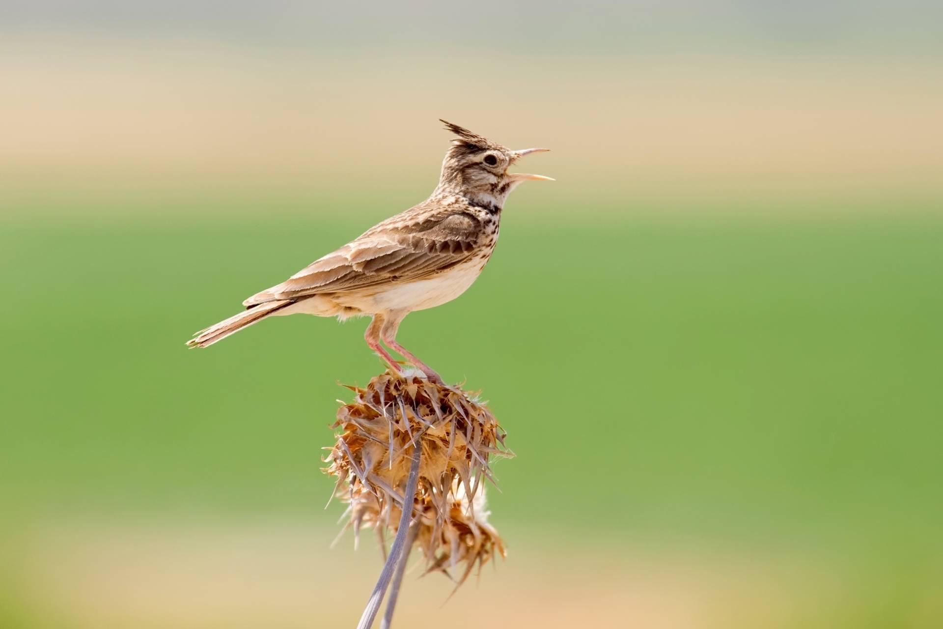 Śpiewający skowronek - gdzie słuchać ptasiego radia?