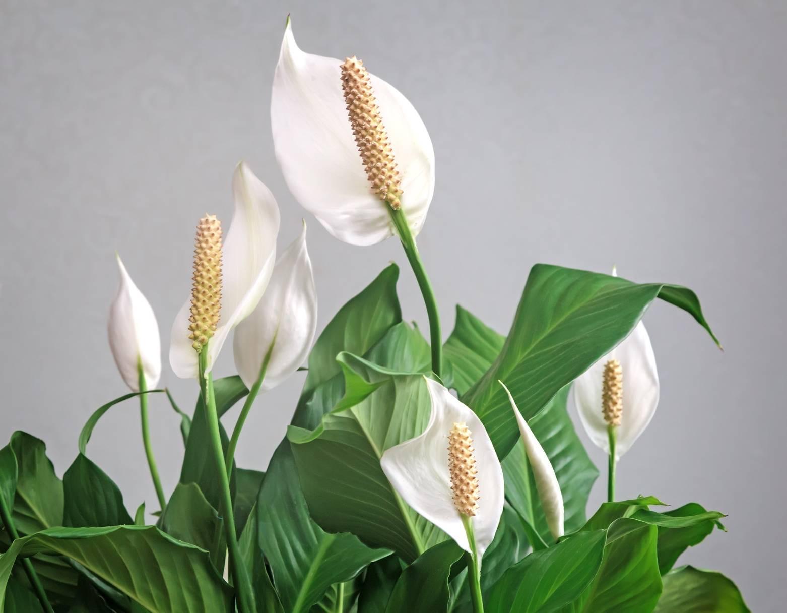 Skrzydłokwiat - trująca roślina doniczkowa. Zbliżenie na białe kwiaty i zielone liście.