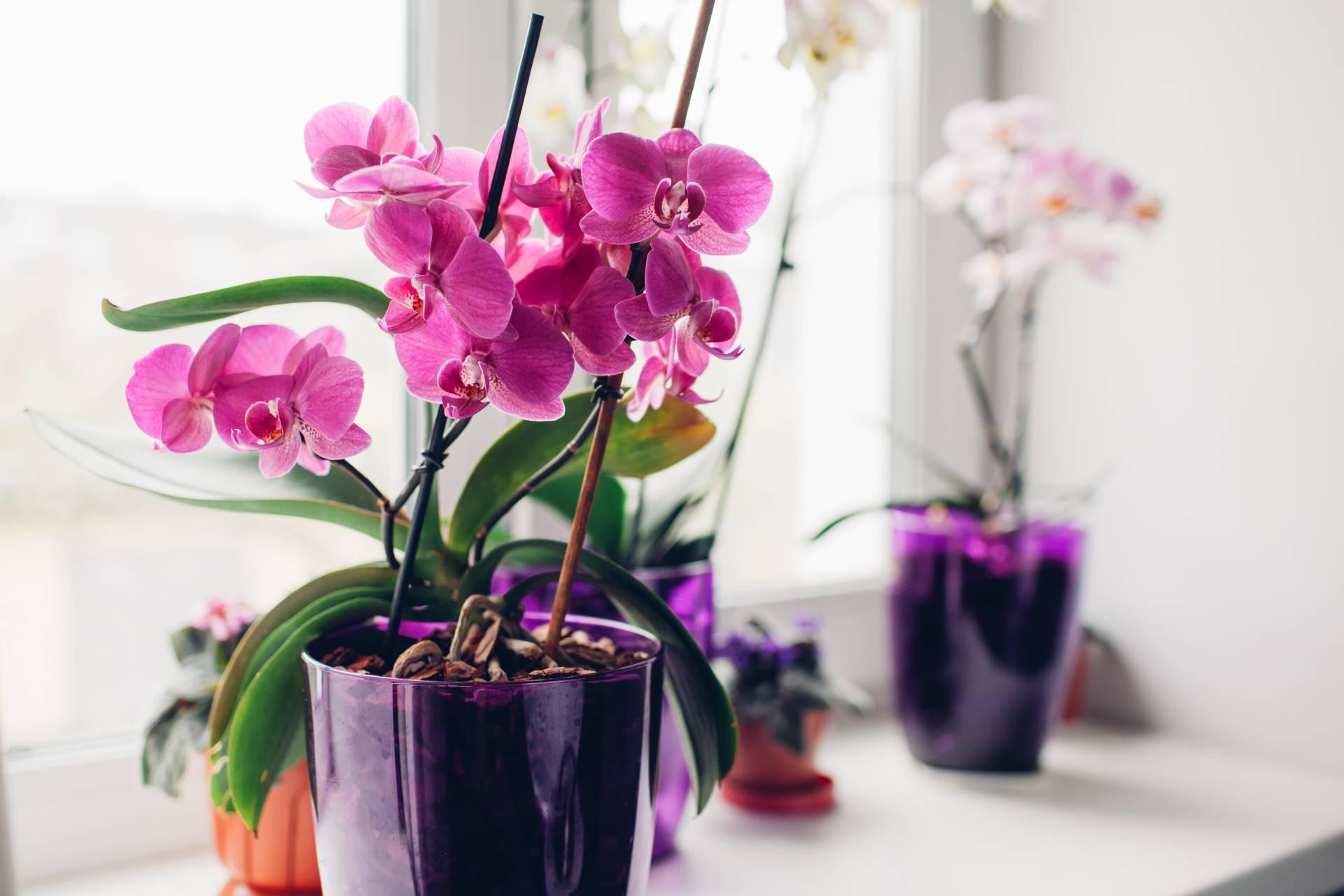 Purpurowe storczyki na parapecie - jak podlewać storczyki? Kwiaty do łazienki - jakie wybrać?