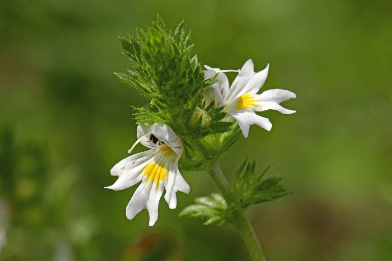 Świetlik lekarski - zbliżenie na kwiaty ziela. Na co pomaga świetlik?