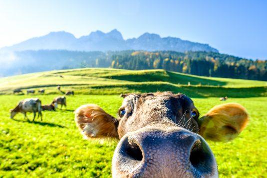 Szczęśliwe, wolne krowy z Deszczna.