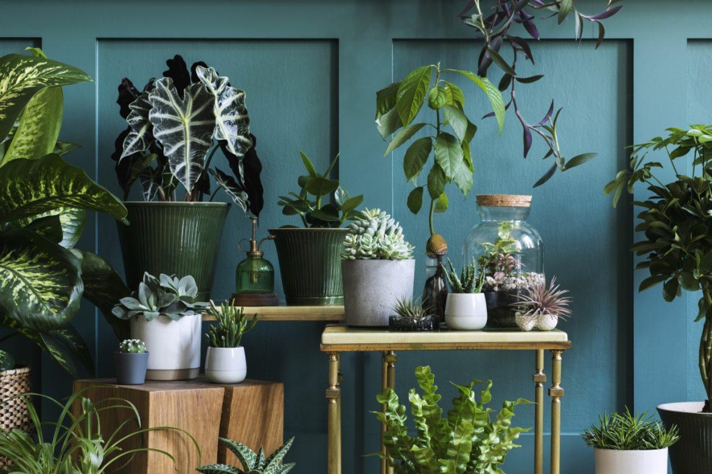 Szkodniki roślin - jak sobie z nimi skutecznie radzić? Kompozycja roślin doniczkowych na regałach i stolikach na tle ciemnoniebieskiej ściany.