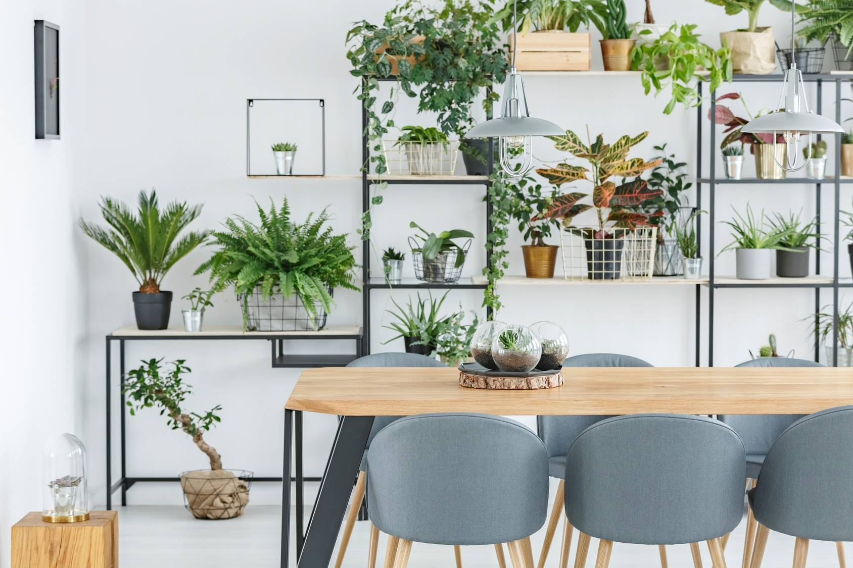 Trujące rośliny doniczkowe popularne wśród roślin domowych. Designerskie wnętrze - drewniany stół jadalniany z szrymi krzesłami, w tle nowoczesna meblościanka, na której stoi mnóstwo kwiatów doniczkowych.