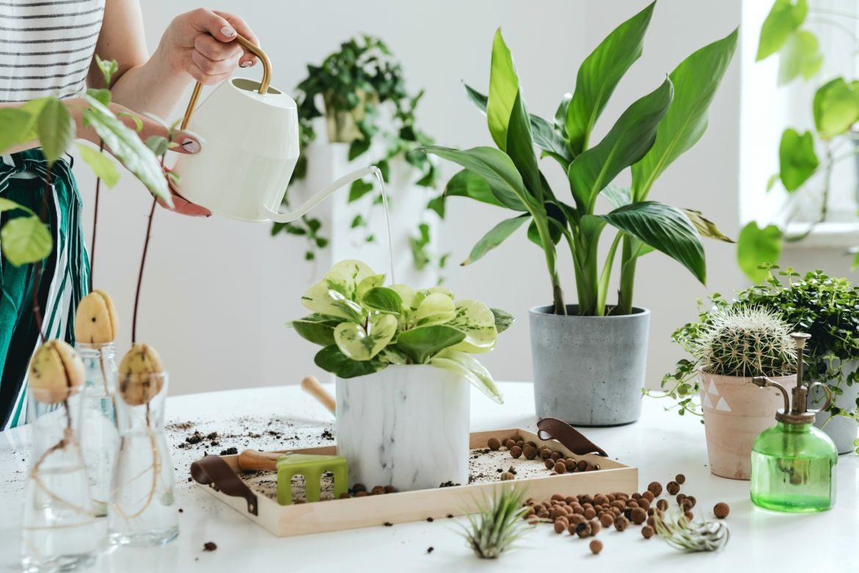 Trujące rośliny doniczkowe. Kobieta przesadza kwiaty doniczkowe na białym blacie w kuchni.