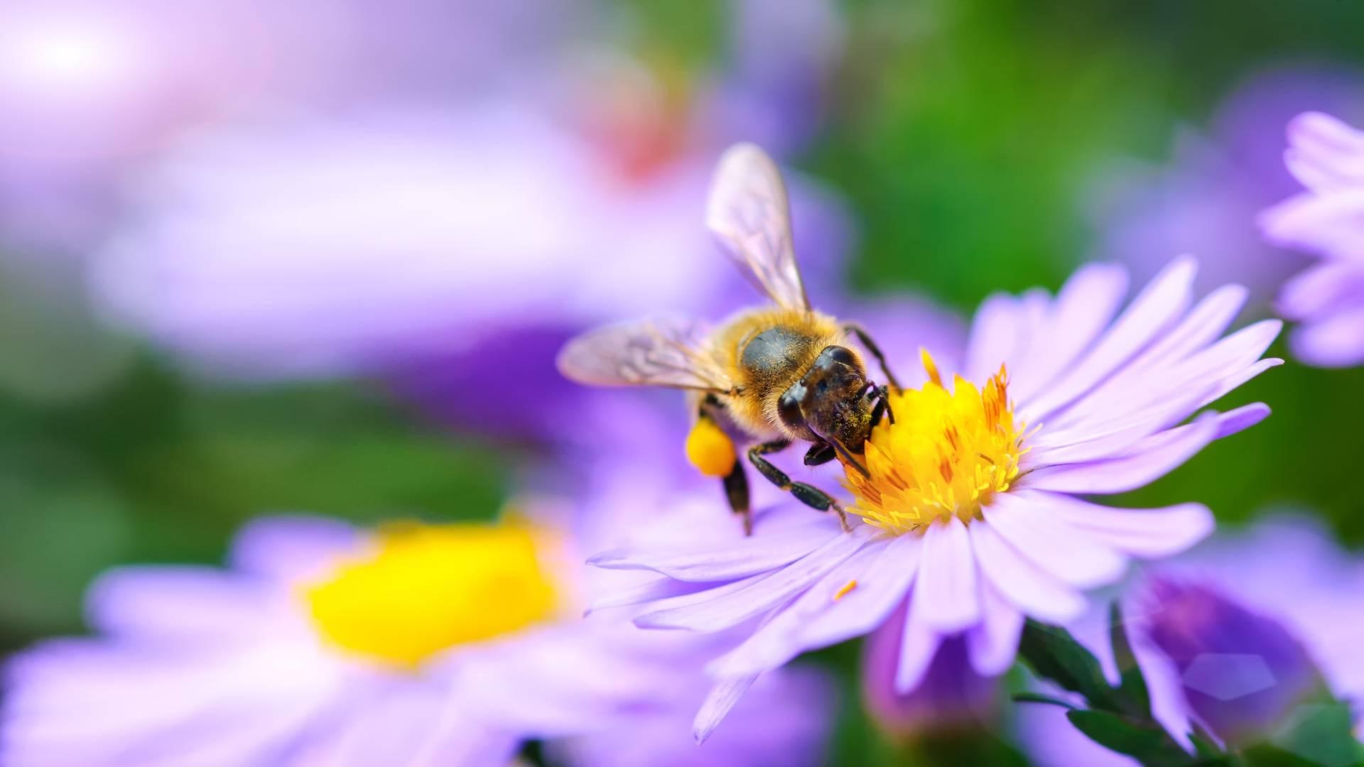Użądlenie osy lub pszczoły - objawy, pierwsza pomoc. Jak pomóc w przypadku wstrząsu anafilaktycznego? Pszczoła zbiera nektar z fioletowego kwiatka.