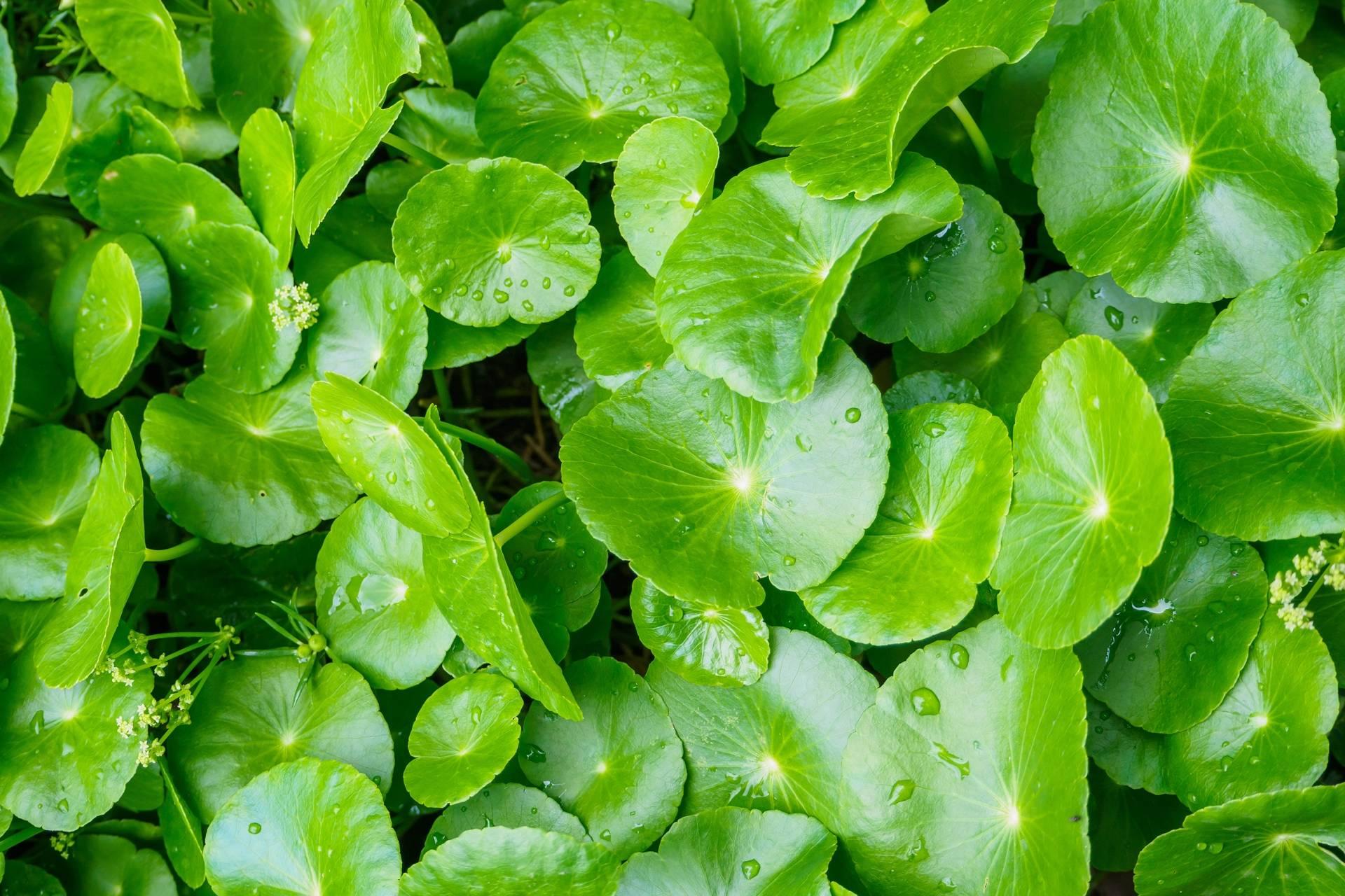 Wąkrotka azjatycka - jak działa roślina adaptogenna i jakie ma właściwości?