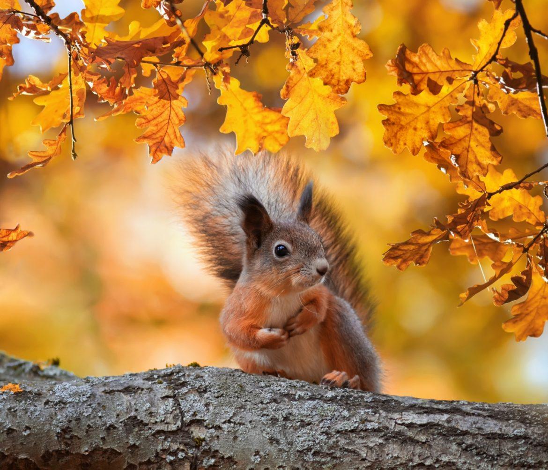 Ruda wiewiórka na gałęzi drzewa jesienią w parku. Co jedzą wiewiórki? Jak o nie dbać?