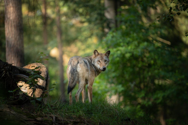 Co robic, gdy spotkamy w lesie wilka?