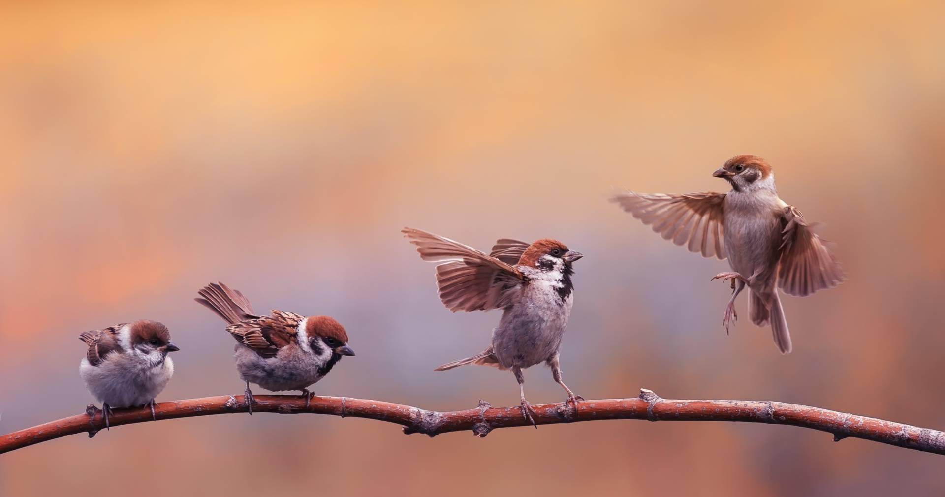 Ptasie radio, śpiew ptaków. Wróble siedzą na gałęzi i śpiewają.