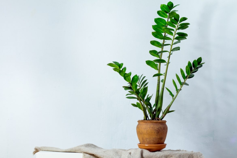 Zamiokulkas zamiolistny w doniczce - roślina oczyszczająca powietrze.