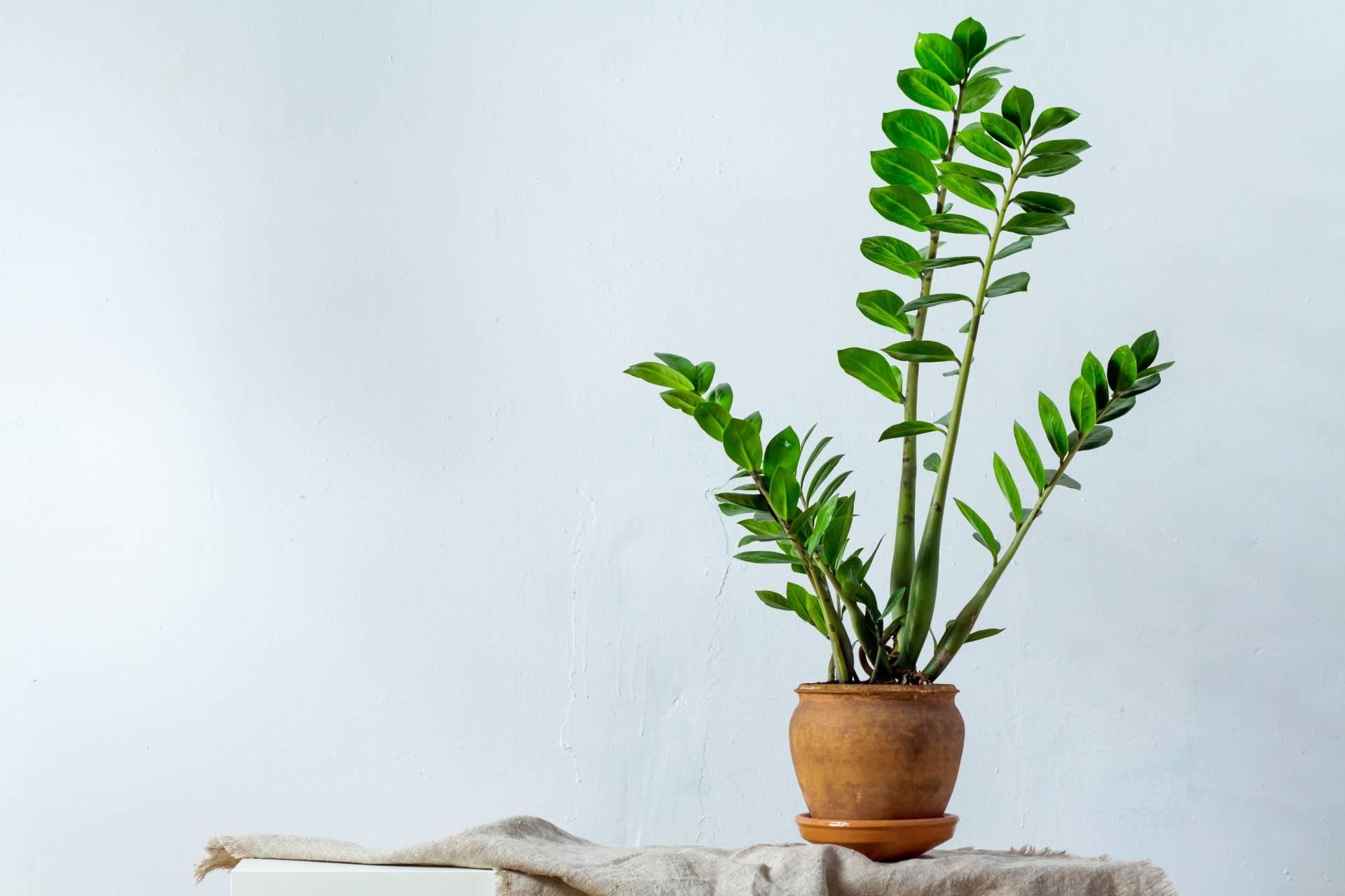 Zamiokulkas w glinianej doniczce - rośliny do łazienki.
