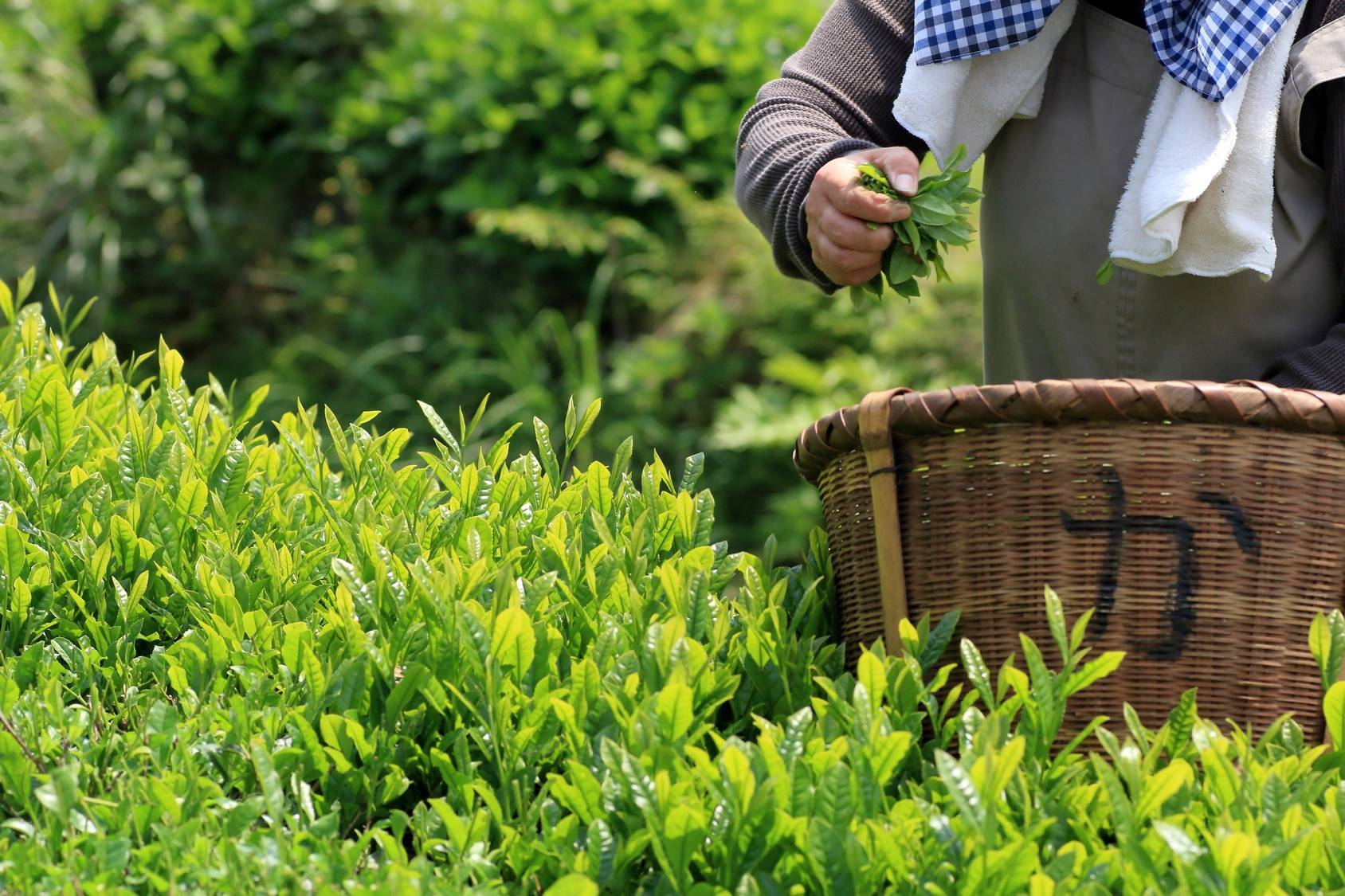 Jak uprawiać matchę? Zbieranie liści matchy na plantacji w Japonii.