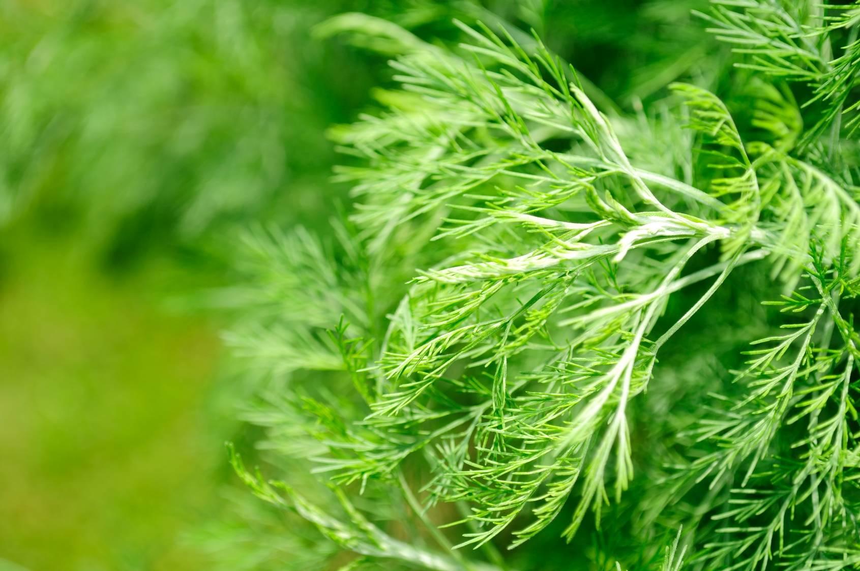 Bylica boże drzewko - najlepsze zioła na trawienie.
