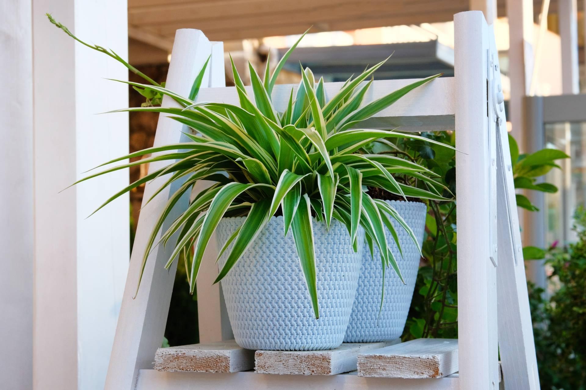 Zielistka Stenberga (Chlorophytum) w białej doniczce - jakie rośliny do łazienki warto wybrać?